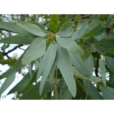 eukalyptusz staigeriana