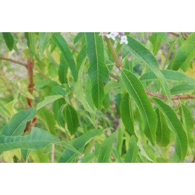 cotromverbena-aromaviz