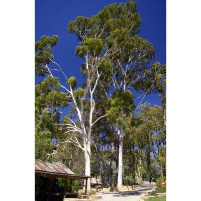 eukaliptus citriodora