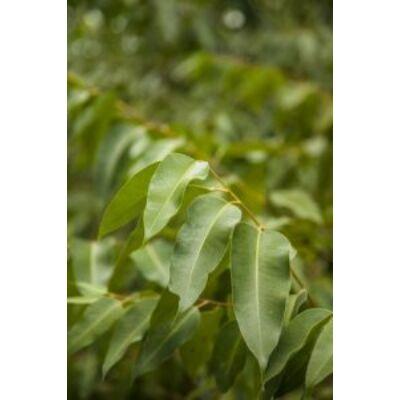 Eukalyptus radiata