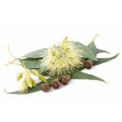 eukalyptus globulus
